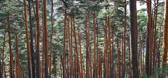 Read more about the article Ecological roots of pine species distribution in Southern Europe (scientific article)