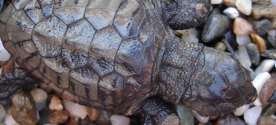 Sea-level rise impacts on sea turtle nesting beaches (article)