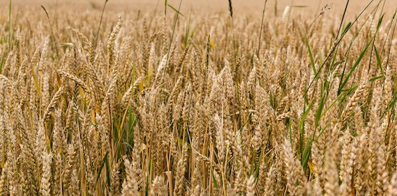 Read more about the article Climate resilience of the top ten wheat producers in the Mediterranean and the Middle East (article)