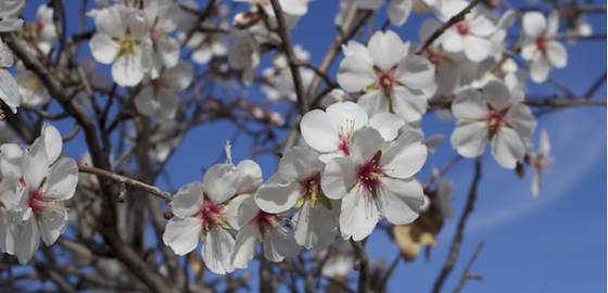 Blooming under Mediterranean climate: estimating chill and heat requirements of almond and apple trees (article)