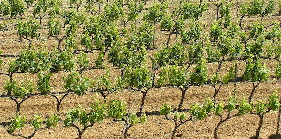 Challenges of viticulture adaptation to global change